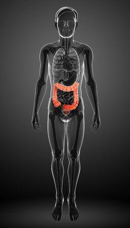 appendicits: Illustration of Male large intestine anatomy Stock Photo