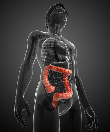 cecum: Illustration of Male large intestine anatomy Stock Photo