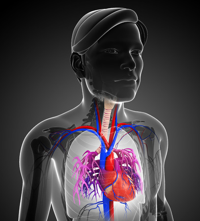 human heart anatomy: Illustration of Male heart anatomy Stock Photo