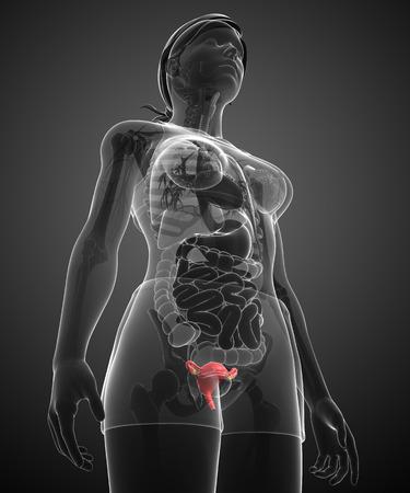 urinary bladder: illustration of female uterus anatomy Stock Photo