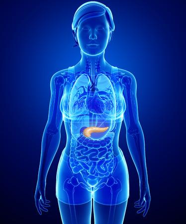 trzustka: Ilustracja do kobiecej anatomii trzustki