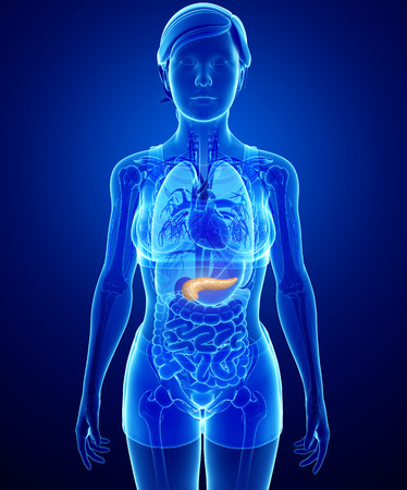 Illustration of female pancreas anatomy