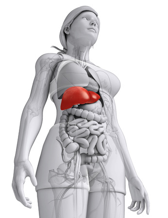 Illustration of Female liver anatomy Stock Photo