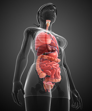 Illustration of human digestive system  illustration