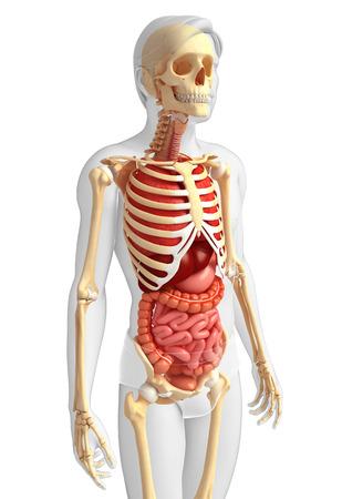 Ilustración Del Sistema Digestivo Esqueleto Masculino Fotos ...