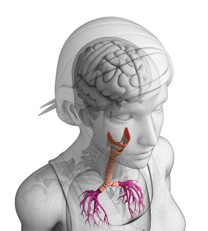 gastrointestinal tract: Illustration of Female throat anatomy Stock Photo