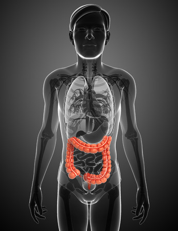 Illustration of Male large intestine anatomy Stock Illustration - 30008475