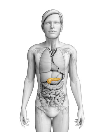 Illustration of male pancreas anatomy illustration