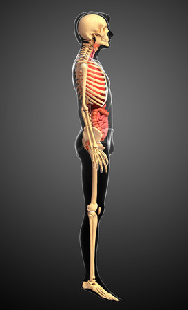 testis: Illustration of male skeleton digestive system  Stock Photo