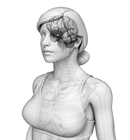 midbrain: Illustration of human brain anatomy