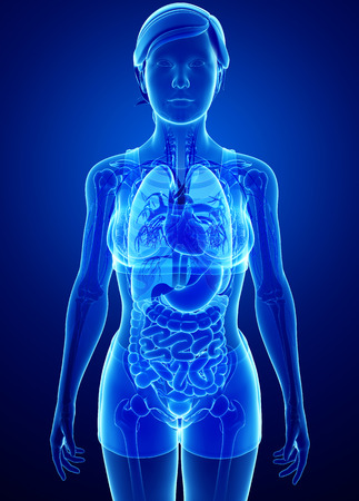 Illustration of xray digestive system with female anatomy