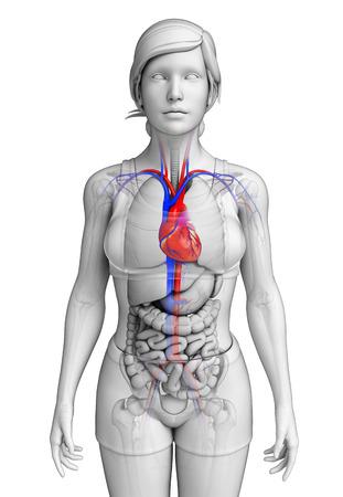 Illustration of Female heart anatomy illustration