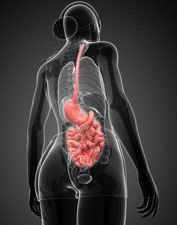 Illustration of Female large intestine anatomy Stock Illustration - 30008572