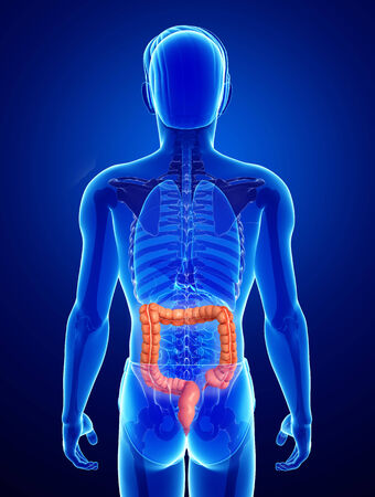 intestino grueso: Ilustraci�n del Macho Anatom�a del intestino delgado Foto de archivo