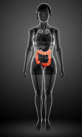 Illustration of Female large intestine anatomy Stock Illustration - 30008638