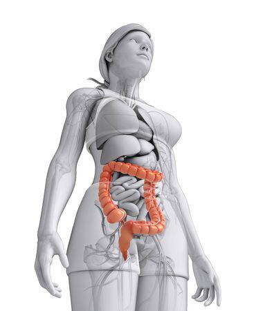 Illustration of Female large intestine anatomy Stock Illustration - 30008654