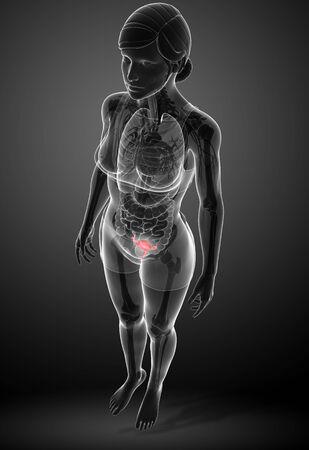 ductus deferens: illustration of female uterus anatomy Stock Photo