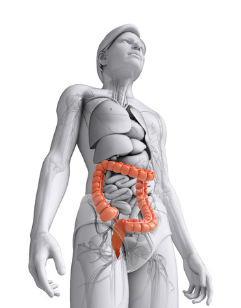 Illustration of Male large intestine anatomy Stock Illustration - 30008689