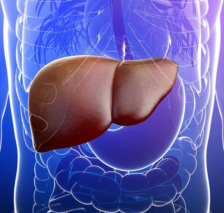 human liver: Illustration of human liver anatomy