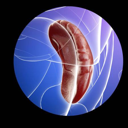 Illustration of human spleen anatomy illustration