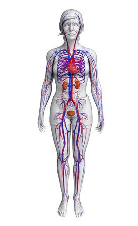 Illustration of female circulatory system