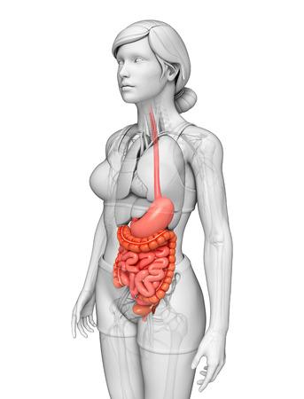 Illustration Der Weiblichen Anatomie Dünndarm Lizenzfreie Fotos ...