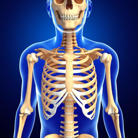 ribcage: Illustration of human front view skeleton Stock Photo