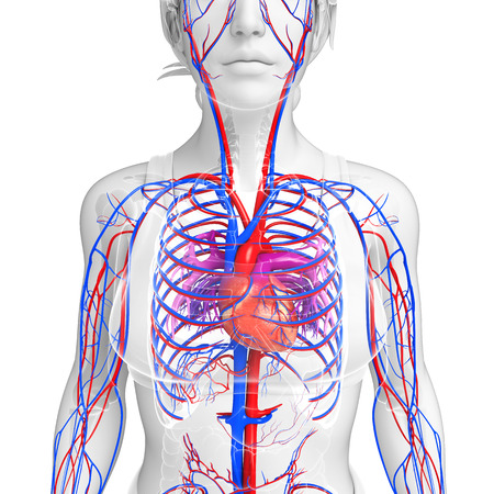 pulmonary trunk: Illustration of female circulatory system
