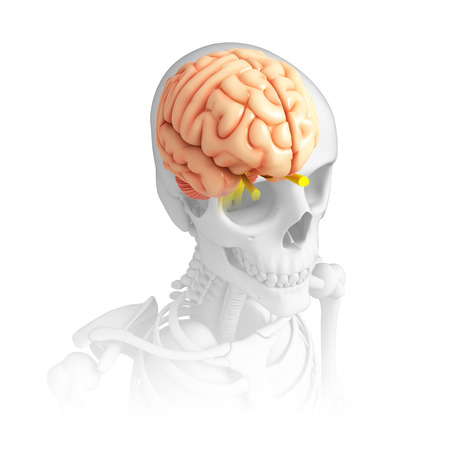 ribcage: Illustration of human brain anatomy