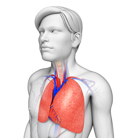 Illustration of male lungs anatomy illustration