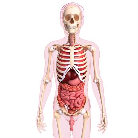 ureter: Illustration of human digestive system of skeleton artwork Stock Photo