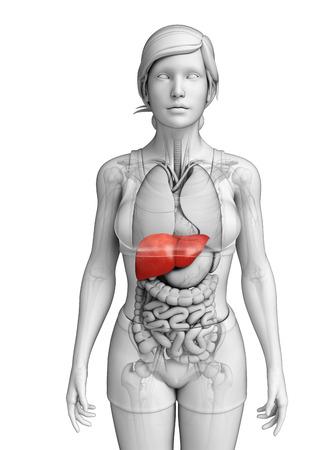 Illustratie van vrouwelijke lever anatomie