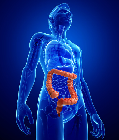 Illustration of Male large intestine anatomy Banque d'images