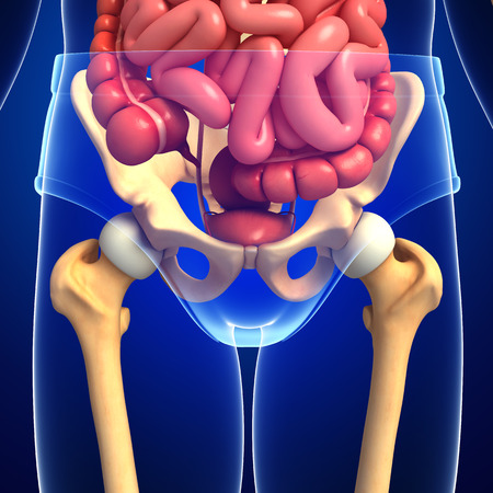 digestive system: Illustration of male skeleton digestive system  Stock Photo