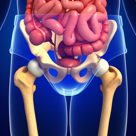 sistema digestivo: Ilustración del sistema digestivo esqueleto masculino Foto de archivo