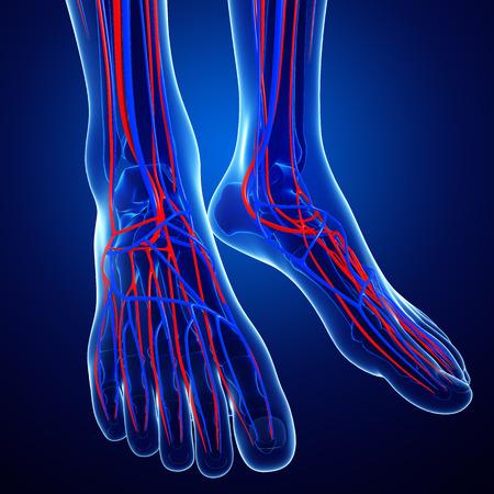 vasos sanguineos: Ilustración del sistema circulatorio Pie