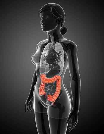 sigmoid: Illustration of Female large intestine anatomy