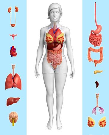human anatomy: Ilustraci�n del �rgano femenino