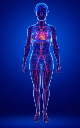 vasos sanguineos: Ilustración del sistema circulatorio femenino