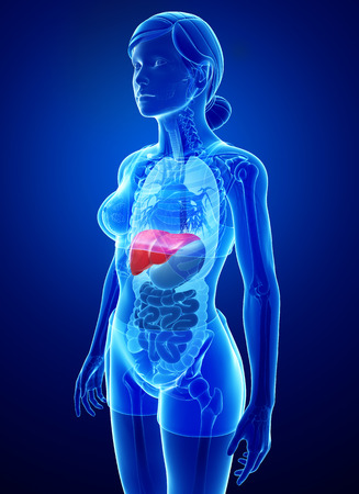 female large intestine: Illustration of Female liver anatomy Stock Photo