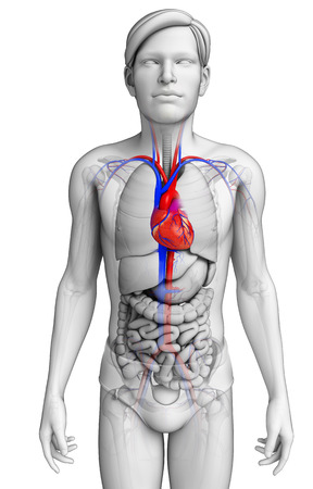 3d small person: Illustration of Male heart anatomy Stock Photo