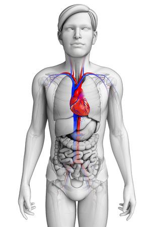 cuerpo completo: Ilustraci�n de la anatom�a del coraz�n Masculino Foto de archivo