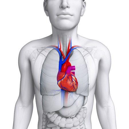 Illustration of Male heart anatomy Stock Photo