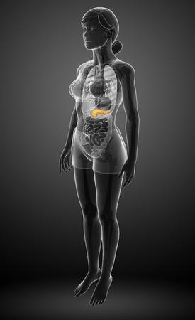 Illustration of female pancreas anatomy illustration