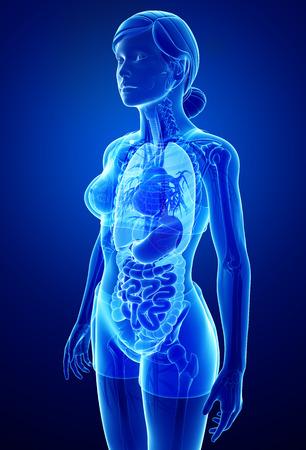 female large intestine: Illustration of  xray digestive female artwork Stock Photo