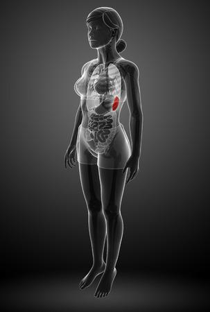 small artery: Illustration of Female spleen anatomy