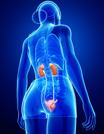 Illustration of Female urinary system illustration