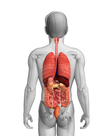 Illustratie van mannelijk spijsverteringssysteem kunstwerk Stockfoto