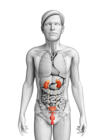 ductus deferens: Illustration of Male urinary system