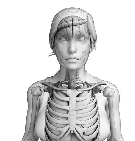 pleural: Illustration of human body respiratory system